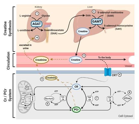 Clarke H et al. The Evolving Applications of Creatine Supplementation: Could Creatine Improve Vascular Health?